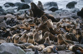 Fur Seals on rocky shore — Stock Photo