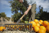 Farmer raking oranges — Stock Photo