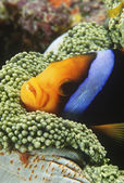 Orange-fin Anemonefish sheltering in anemone — Stock Photo
