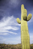 Saguaro cactus in desert — Stock Photo