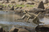 Baboon Leaping Over Rocks — Stockfoto