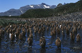 Colony of juvenile King Penguins — ストック写真