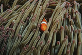 False clown anemonefish — Stock Photo