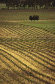 Rows of vines at vineyard — Stock Photo