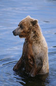 Brown Bear in water — Stock Photo
