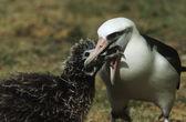 Laysan Albatross feeding nestling — Stock Photo