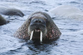 Walruse in water — Stock Photo