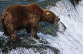 Brown Bear catching Salmon in river — Stock Photo