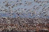 Flock of Snow Geese — Stock Photo