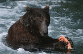 Brown Bear feeding on salmon in river — Stock Photo