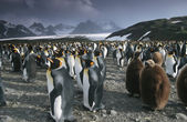Colony of King Penguins — Stock Photo
