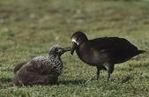 Black-Footed Albatross feeding nestling — Stock Photo