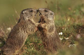 Marmots on meadow — Stock Photo