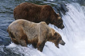 Brown Bears standing in river — Stock Photo