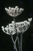 Frost on Apiaceae plant — Stock Photo