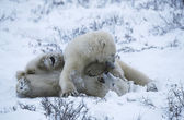 Polar bear cubs playing in snow — Stock Photo