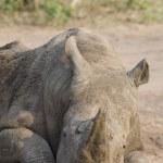zrelaksowany nosorożca — Zdjęcie stockowe #33905345