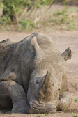 Relaxed rhino — Stock Photo