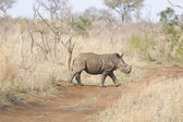Walking rhino — Stock Photo