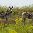 Zebras in African plains — Stock Photo #33982183