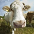Cows in pen against blue sky — Stock Photo