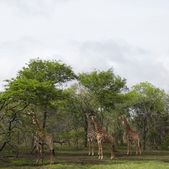 Giraffes in woodland — Stock Photo