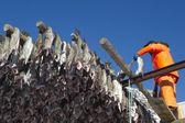 Man hanging fish on rack Norway — Stock Photo
