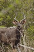 Male Nyala — Stock Photo