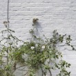 Plant growing against white brick wall — Stockfoto