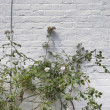 Plant growing against white brick wall — Stock fotografie