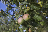 Apples ripening on tree — Stock Photo