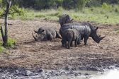 Herd of Rhinocerous — Stockfoto