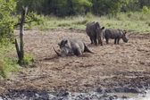 Herd of Rhinocerous — Stock Photo