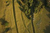 Sheep on farming land — Stock Photo