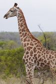 Giraffe in African woodland — Stock Photo