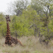 giraffa in pianure africane — Foto Stock #34003503