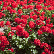 Red flowers — Stock Photo #34004587