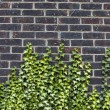 Concrete wall with ivy  — Stock Photo