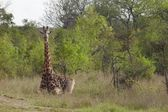 Giraffe in African plains — Stock Photo