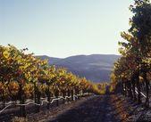Californian Vineyard — Stock Photo