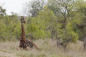 Giraffe in African plains — Stock Photo