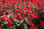 červené květy — Stock fotografie