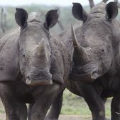 Two rhinoceros — Stock Photo