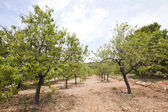 Rows of almond trees in almond grove — Stock Photo