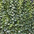 Ivy textured — Stock Photo #34013785