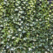 Stock Photo: Ivy textured