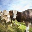 Stock Photo: Cows in pen