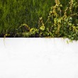 White wall with ivy flowing — Stock Photo