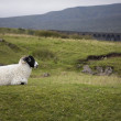Sheeps on pasture — Stock Photo #34019331