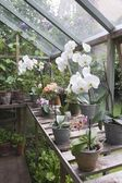 Orchid at greenhouse — Stock Photo